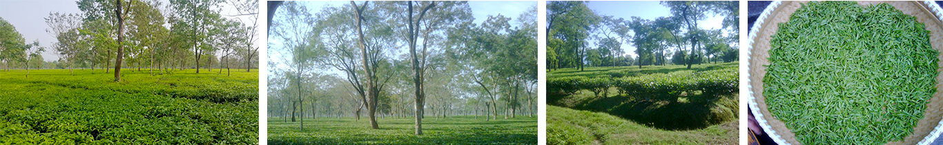 doomni tea estate